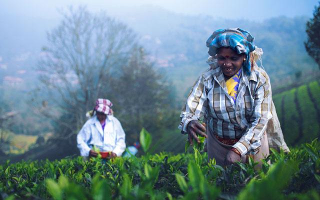 Tea estate workers in Kotagiri hills, Tamilnadu