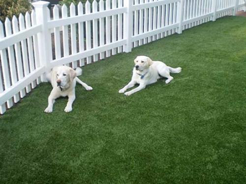 Lab Puppies on Artificial Grass