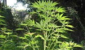 Calabria – Coltivava marijuana nell'orto di casa, arrestato