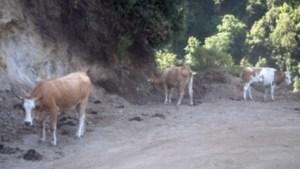 Vacche sacre – Sequestrati 8 bovini in Aspromonte