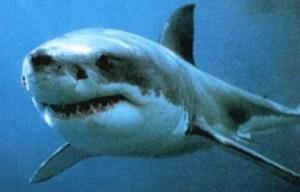 Maxi squalo nel Mar Adriatico, la Guardia Costiera: «No sport in mare»