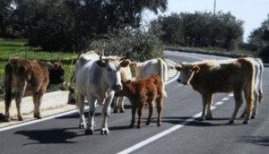 """Coldiretti: """"Task force sanitaria contro le vacche sacre della 'Ndrangheta"""""""