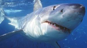 Dati preoccupanti. A causa del riscaldamento del mare stanno arrivando nuove specie di squali
