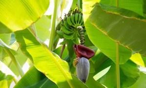 Dal banano non solo il frutto, ma anche vestiti