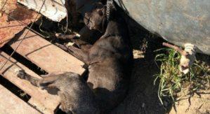 Cane tenuto alla catena muore soffocato, 25enne denunciato