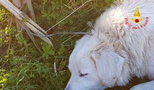 Cane finisce in una trappola per cinghiali, liberato dai vigili del fuoco
