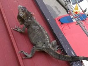 Iguana scappa da casa e sale sui tetti, recuperata dai Vigili del Fuoco