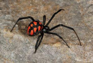"""Un ragno """"vedova nera"""" punge 50enne, antidoto giunto da Milano con un volo di linea lo salva"""