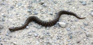 """WWF: """"L'unica specie velenosa di serpente in Calabria è la Vipera aspis"""""""