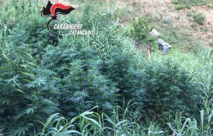 Sorpresi a coltivare piantagione di marijuana, arrestata una coppia nel catanzarese