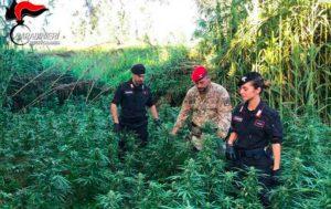 Scoperta una piantagione di canapa indiana, due arresti