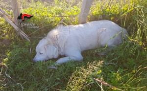 Cane bloccato in una trappola per cinghiali, agricoltore denunciato per bracconaggio