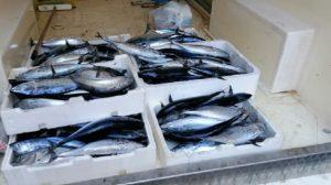 Settanta esemplari di tonni sequestrati dalla Guardia Costiera
