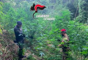 Altra piantagione di canapa scoperta nel catanzarese, 150 piante distrutte