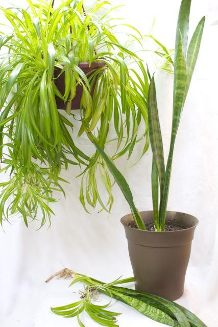 Chlorophytum comosum & Sansevieria