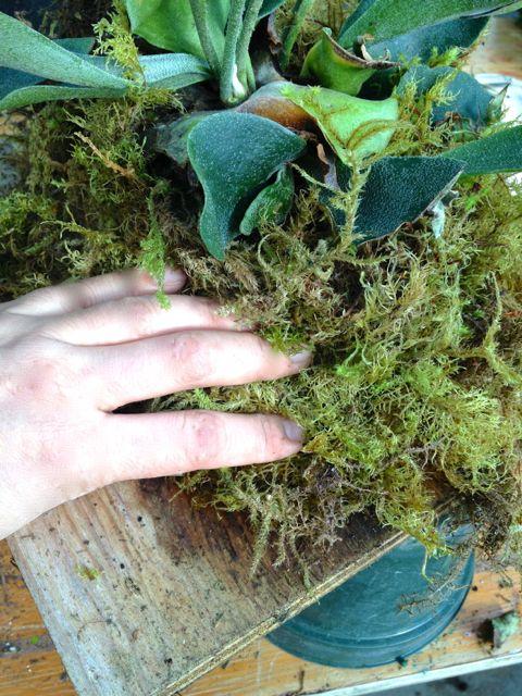 Pack moss around root ball