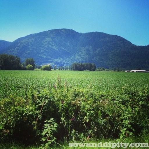 Chilliwack corn country