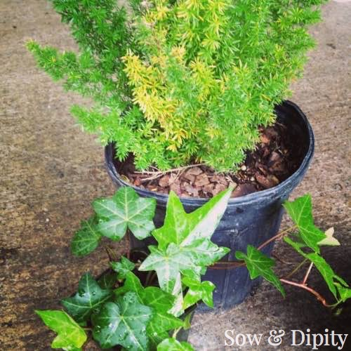Shade plants for planters and baskets 1