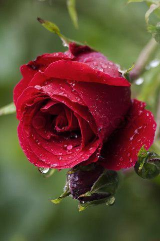 صور اجمل الورود فى العالم جميلة