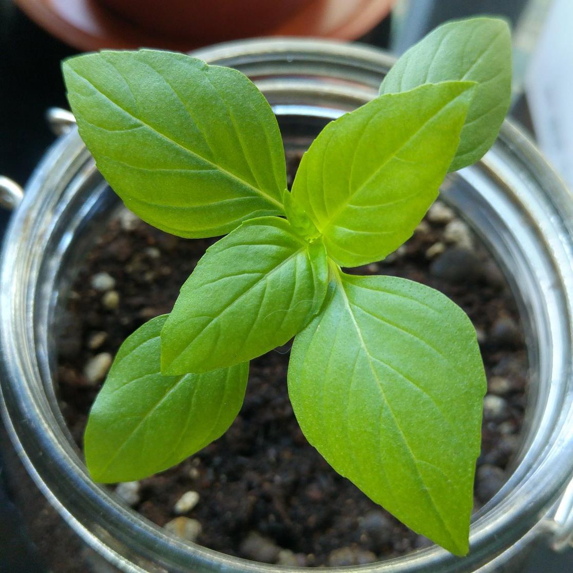 Grow Thai Basil Day 10