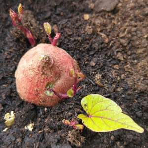 How to grow sweet potato leaves