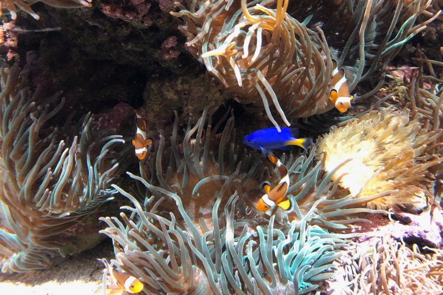 Poissons Clowns à l'Aquarium Oceanografic de Valence