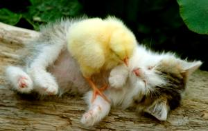 Bizarre friendship between kitten and chick. For years cats and birds have been natural enemies, but this kitten and chick have become best of friends. The plucky bird enjoys nothing more than playing with the cute moggie. The pair formed the unlikely friendship after five-year-old Maria Fedorov brought the hungry stray kitten home and her parents agreed she could keep it. The next day she saved a chick from the claws of another cat and to the family's surprise they instantly became best friends. Maria's father, Alexander, from, Moscow, Russia, took this endearing photo of the pair together. Pictured: Chick and Kitten Ref: SPL361070 150212 Picture by: Solent News / Splash News Splash News and Pictures Los Angeles:310-821-2666 New York: 212-619-2666 London: 870-934-2666 photodesk@splashnews.com