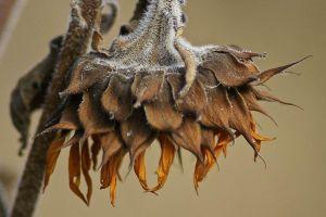 dead-sunflower-58a6d32c3df78c345b528e05