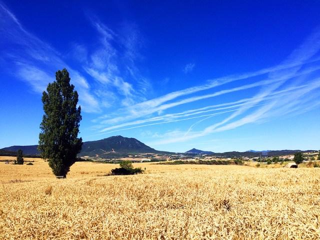 사이프러스 나무와 밀밭