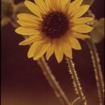 Las flores también sienten