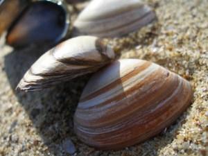 Гърци хванати да бракониерстват пясъчна мида по морето ни 1