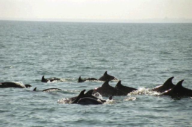 Делфини и рапани унищожавали рибата в Черно море 1