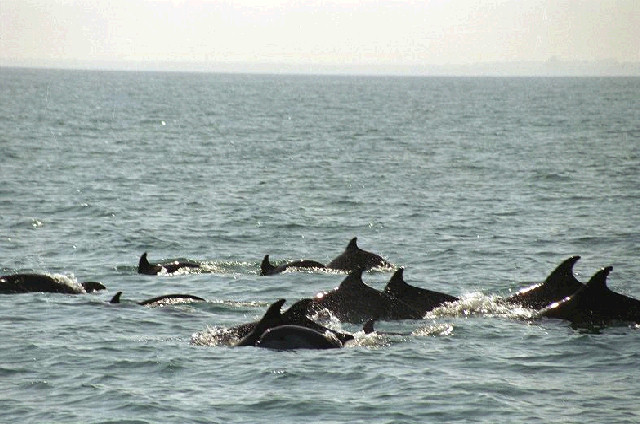 Делфини в яхтеното пристанище на Созопол
