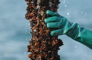 Заловиха бракониери на черна мида край Черноморец 11