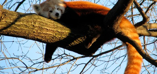 Sleepy Red Panda