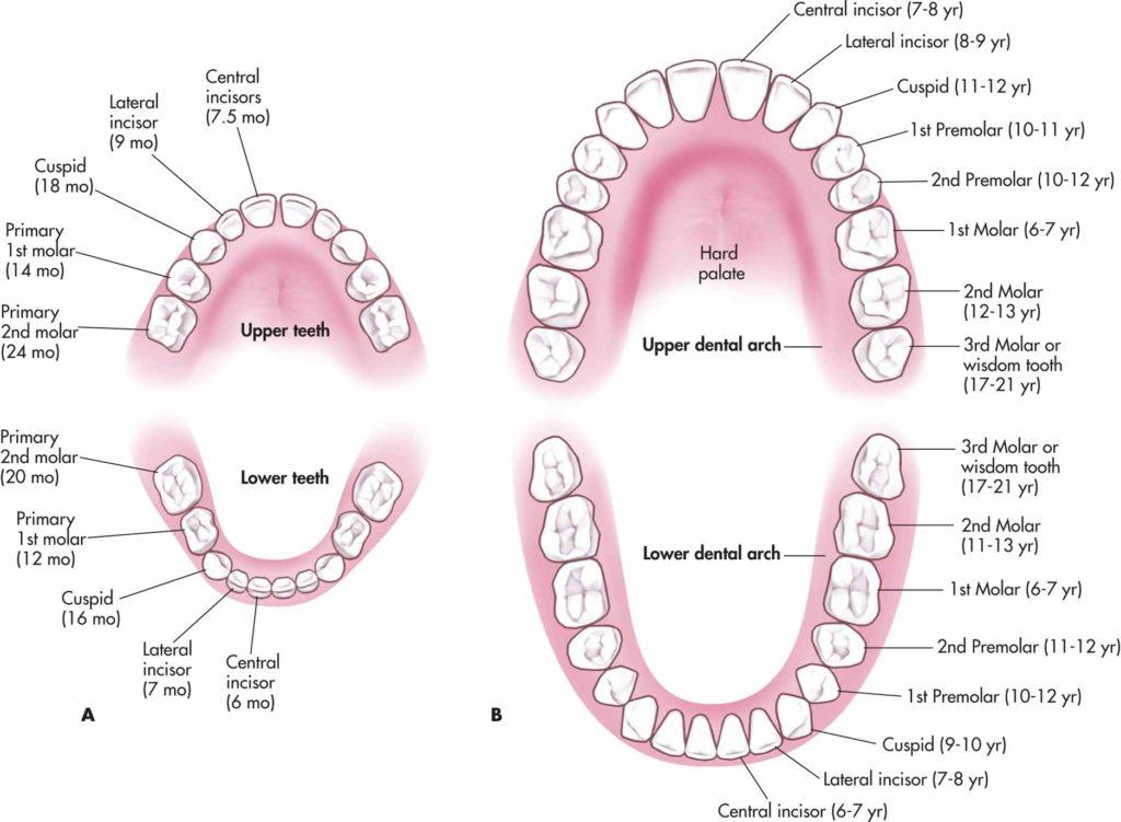 Deciduous Teeth Diagram Online Schematic Diagram