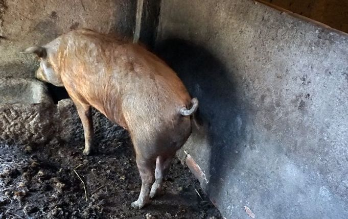 イベリコ豚、サラマンカ、スペイン