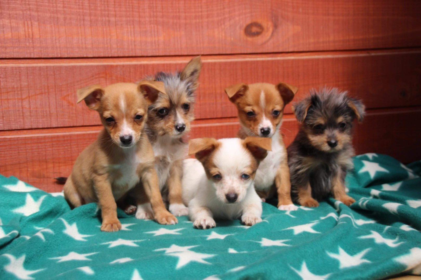 Chiots Chihuahuas & Griffon