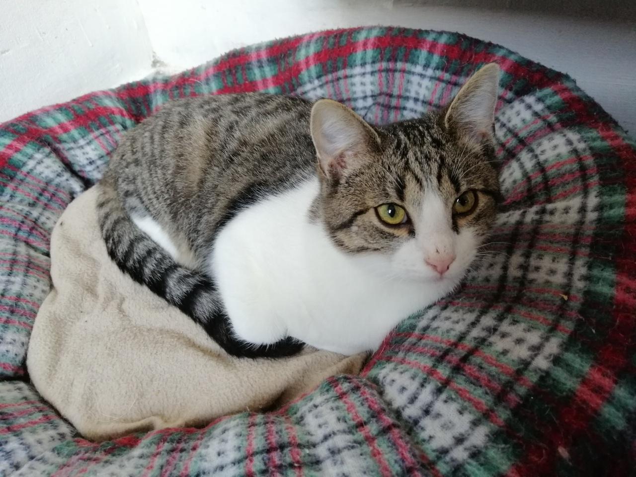 Iago ♂  grand chaton – FA