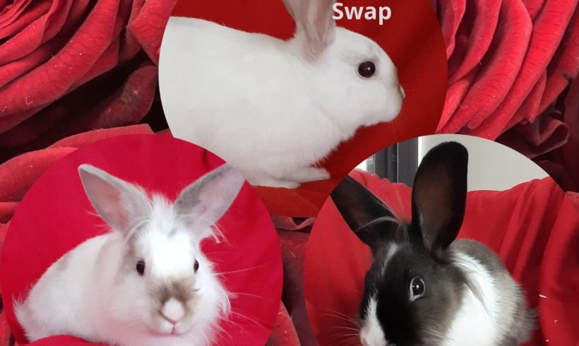 Swap – Chamallow – Loki ♂ lapins – FA
