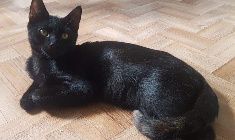 Figaro ♂ chaton – FA
