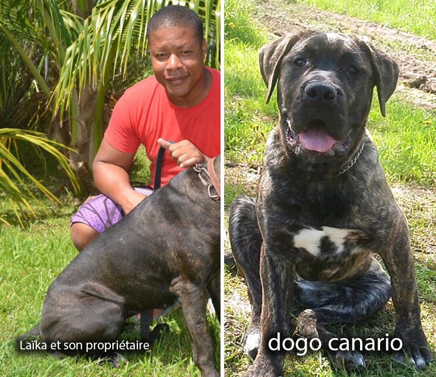 Spa Martinique, laika dogo canario, chien retrouvé
