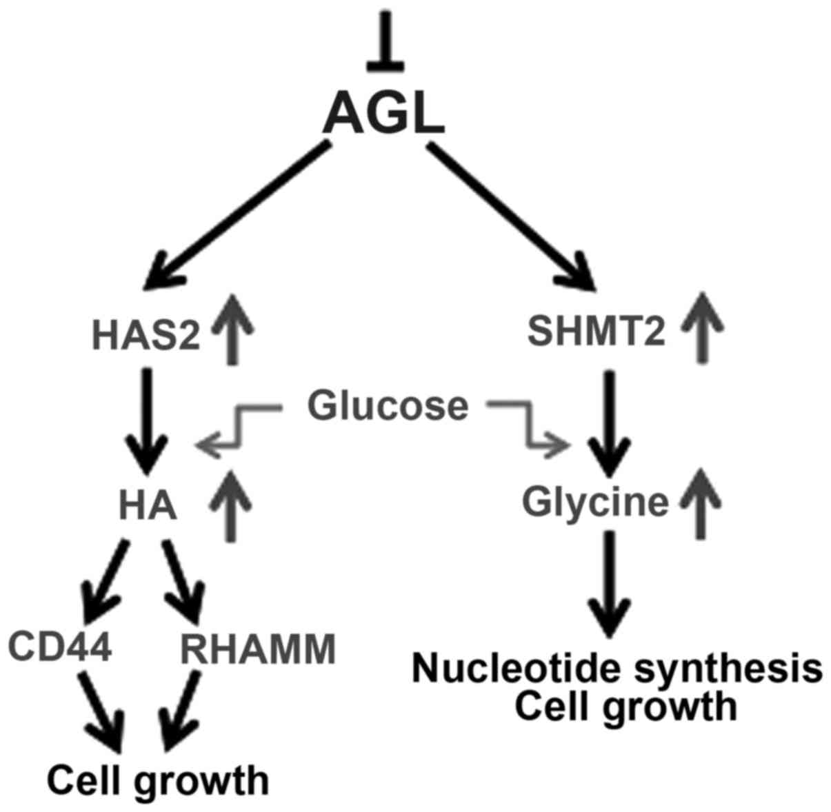 Involvement Of Glycogen Debranching Enzyme In Bladder