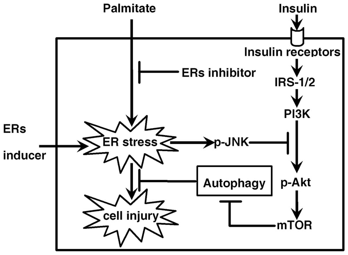 Palmitate Induces Autophagy In Pancreatic Cells Via