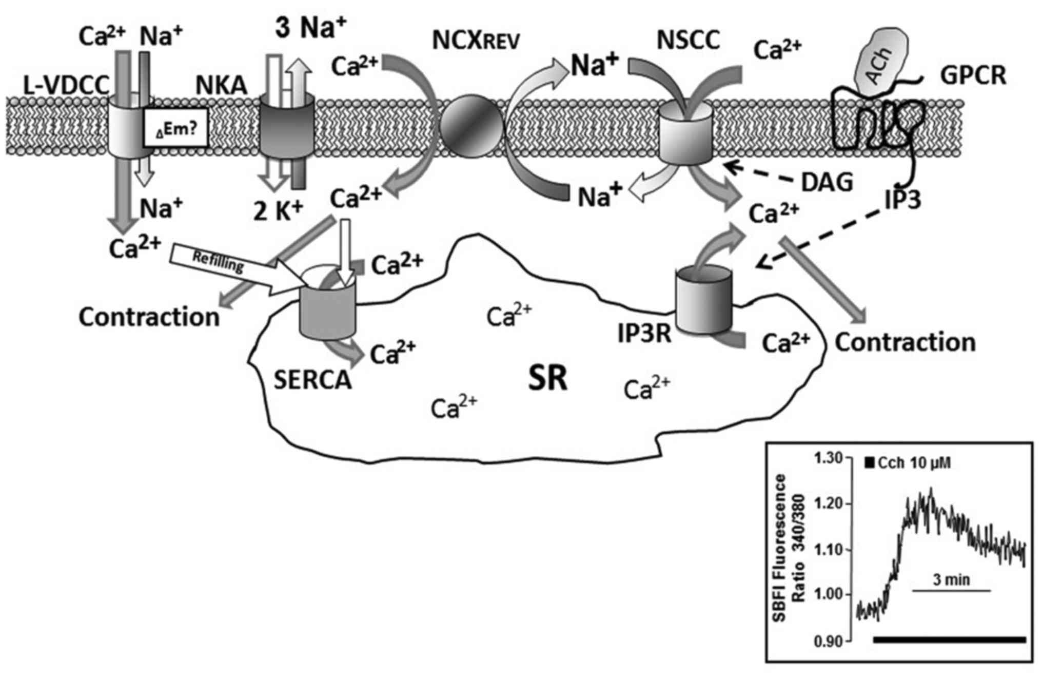 Cellular Na Handling Mechanisms Involved In Airway Smooth