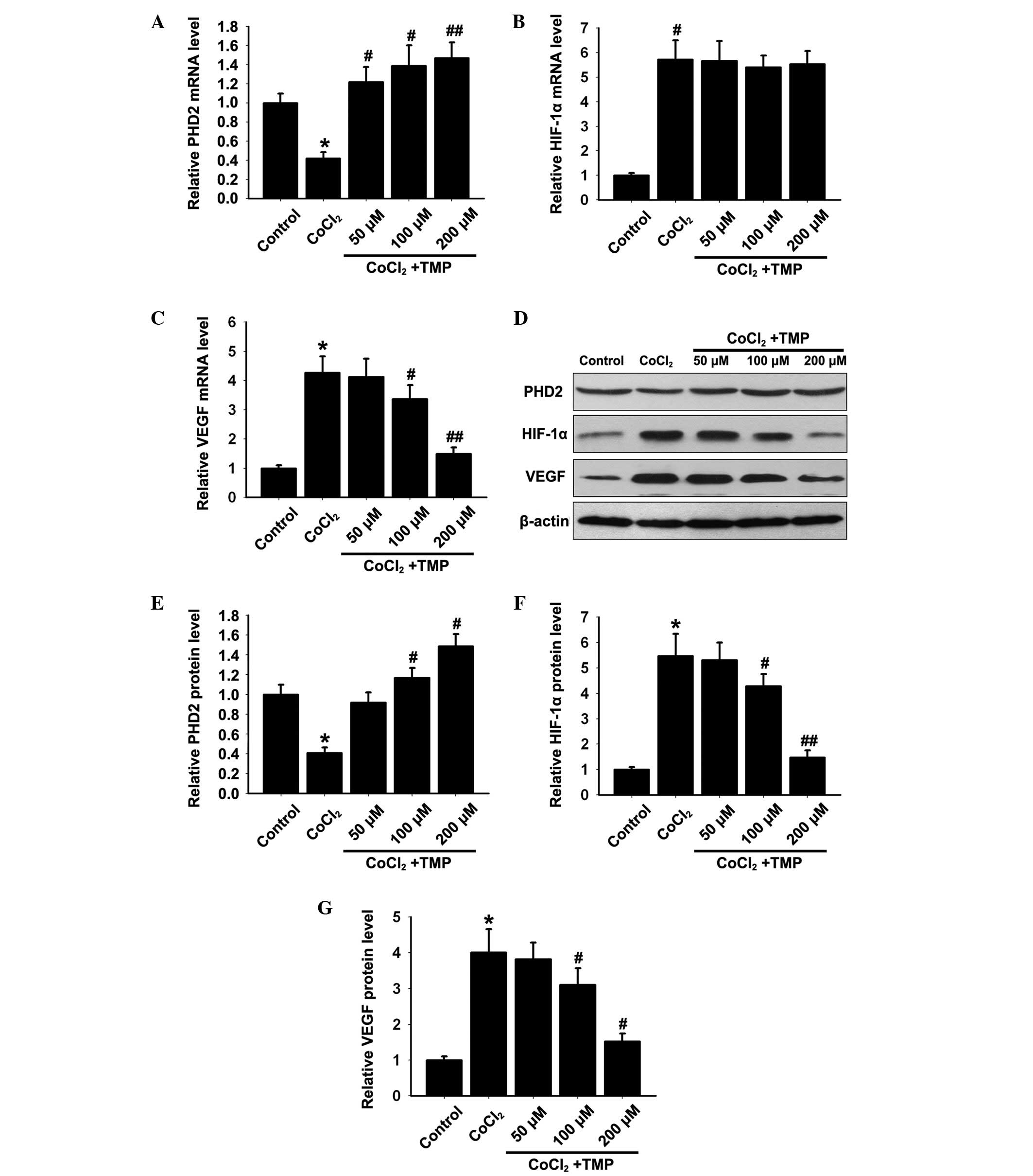 Tetramethylpyrazine Protects Cocl2 Induced Apoptosis In Human Umbilical Vein Endothelial Cells