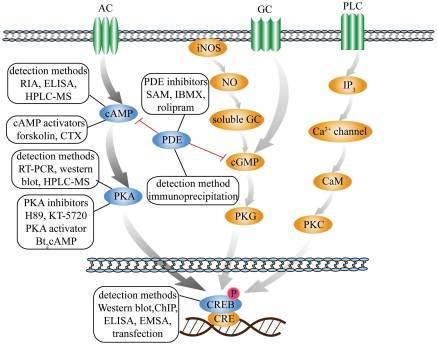 「cgmp creb amyloid pde5」の画像検索結果
