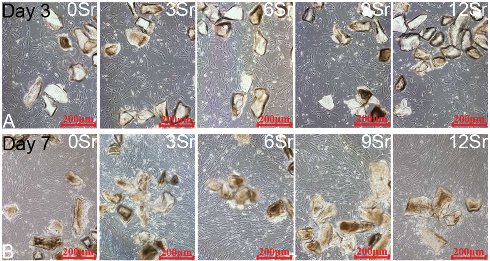 Evaluation Of The Proliferation And Differentiation Behaviors Of Mesenchymal Stem Cells With