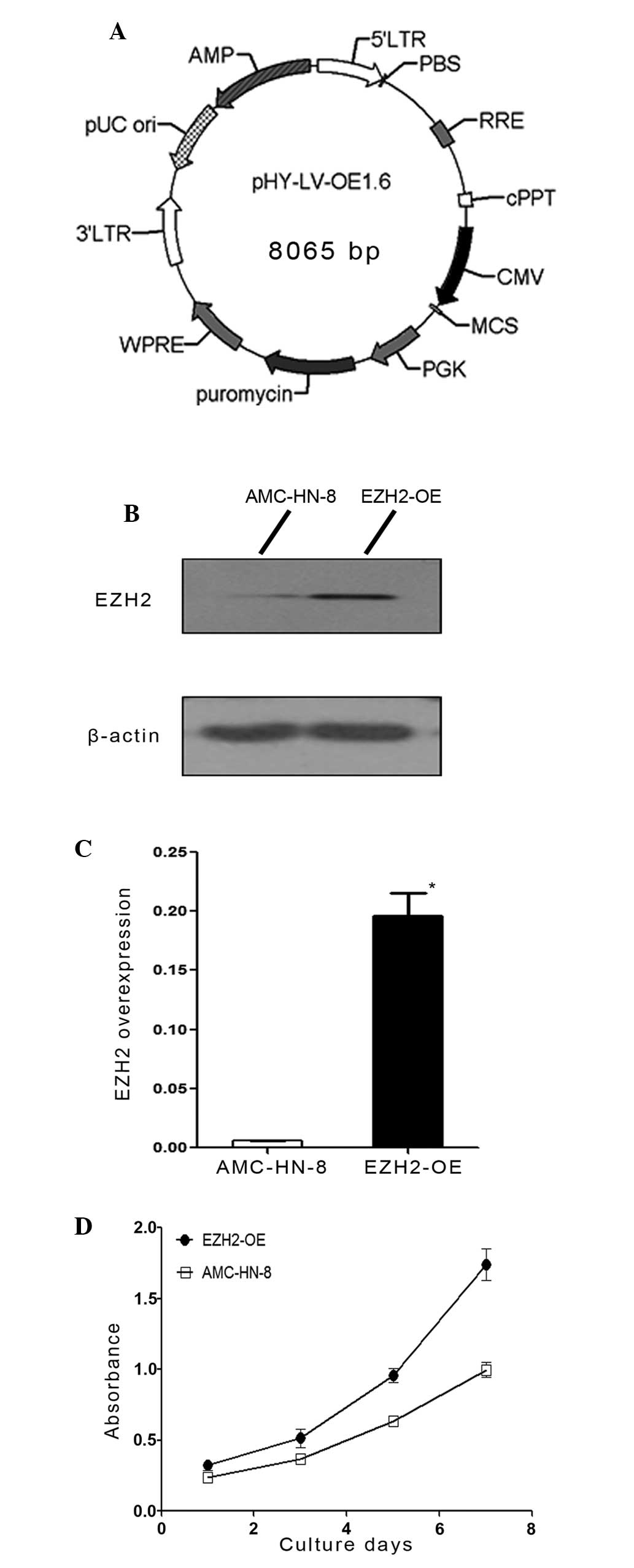 Ezh2 Is Overexpressed In Laryngeal Squamous Cell Carcinoma