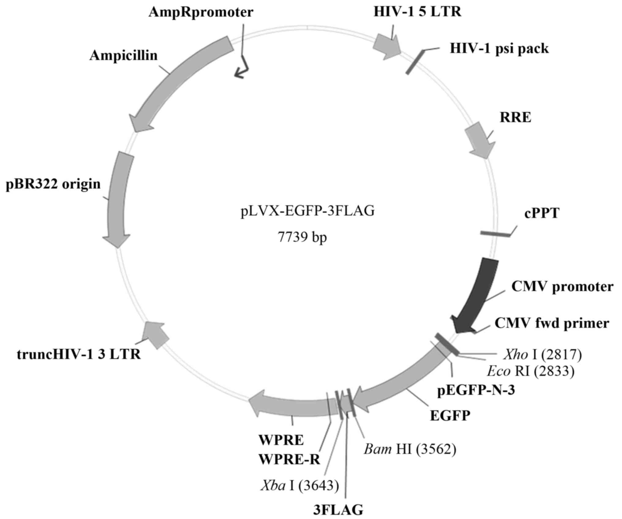 Construction And Expression Of A Lentivirus Expression Vector Carrying The Vegf165 Egfp Fusion